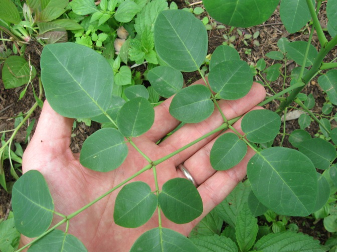 Some Traditional Uses Of Moringa